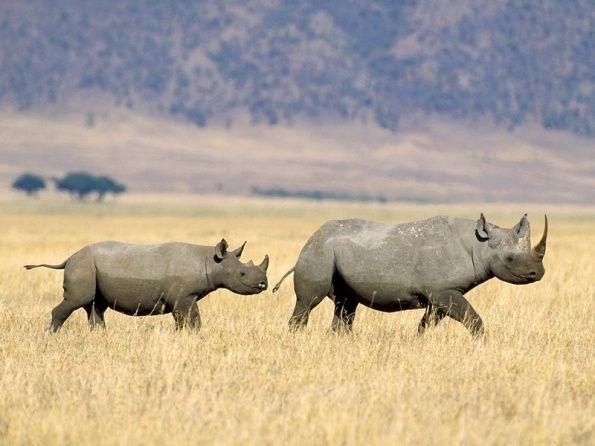 Жирафов буйволов и гиппопотамов